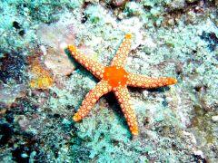 Starfish,_Mauritius